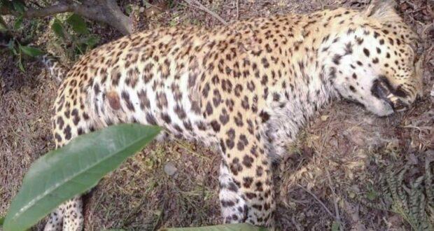 आईडीपीएल क्षेत्र में धमका गुलदार,रेस्क्यू कर जंगल मे छोड़ा