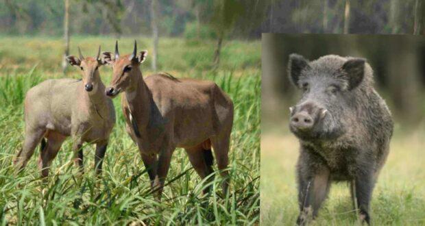 नुकसान पहुंचा रहे वनरोज और जंगली सुअर को मारने के आदेश